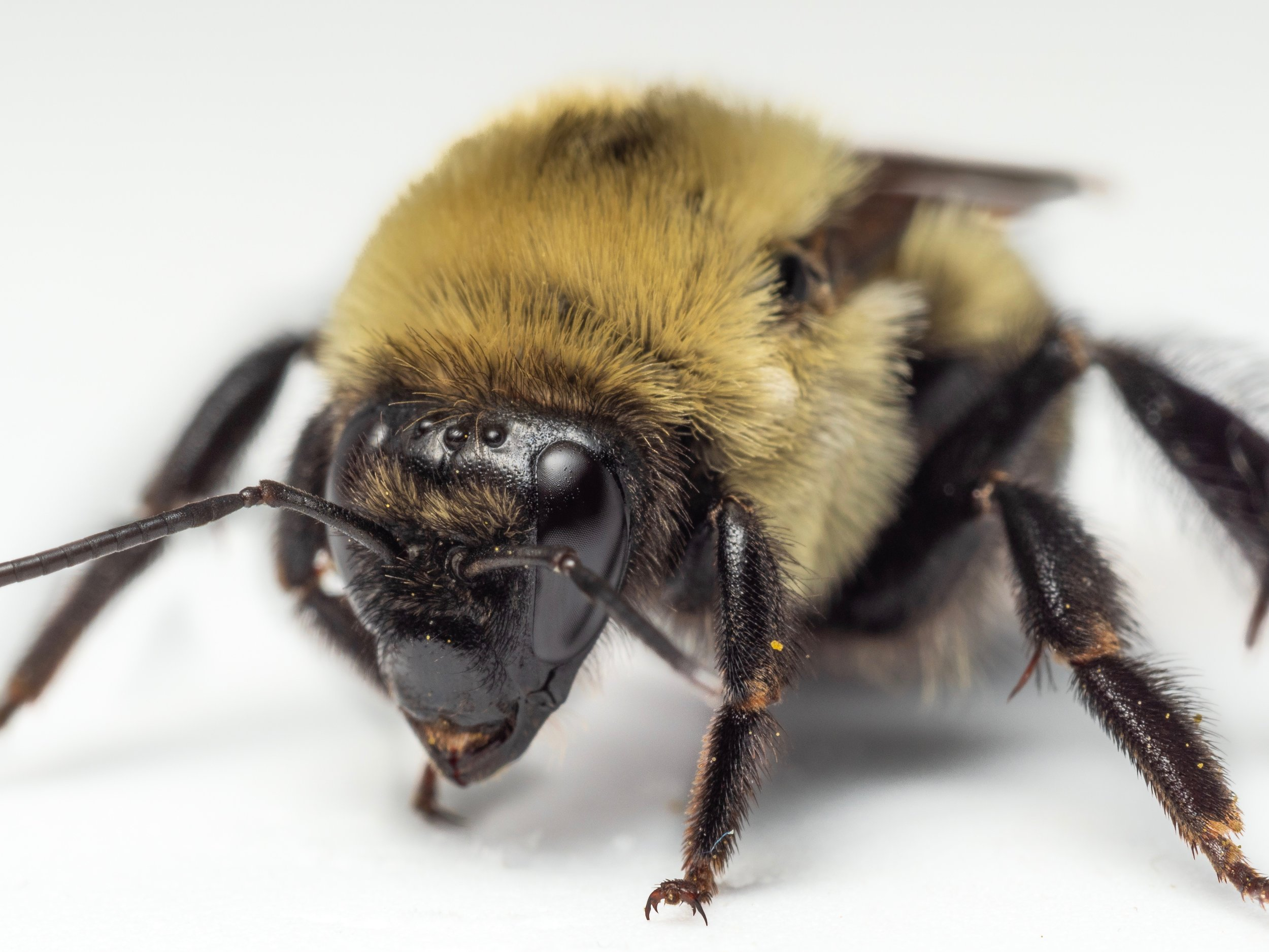 Bee & Bloom — Bee Spotlight: Brown-belted Bumblebee