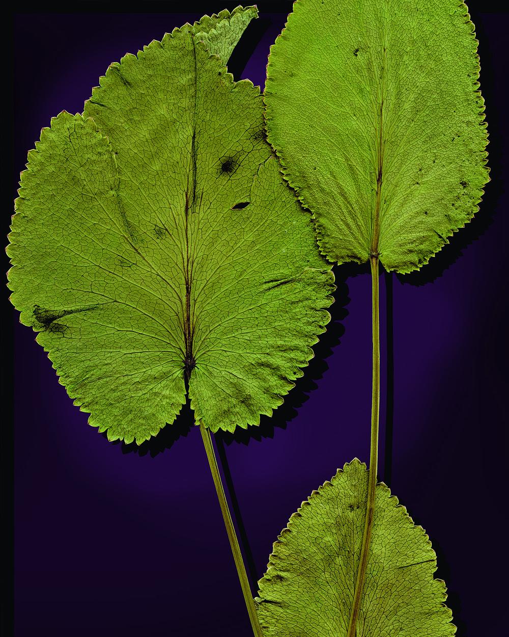 Heart-leaf Alexander