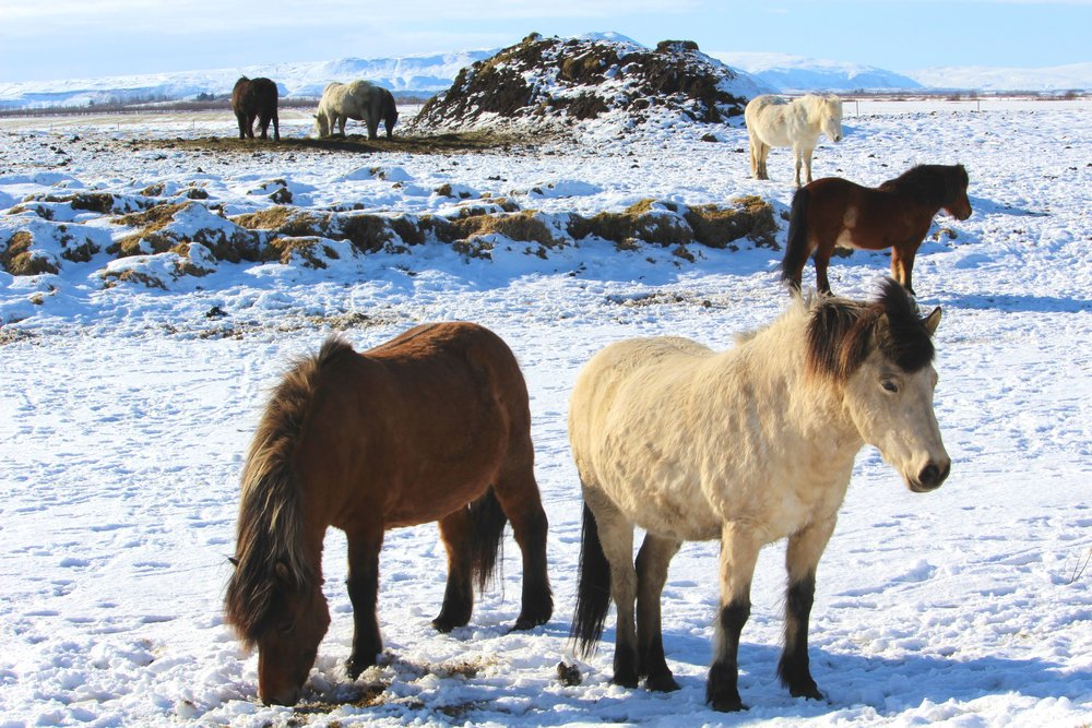 Icelandic horses are smaller in size and visitors often mistake them with ponies.  Tip : Avoid conflict with locals by referring to them as ponies.