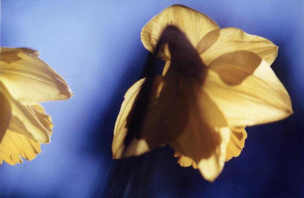 daffodils edited.jpg