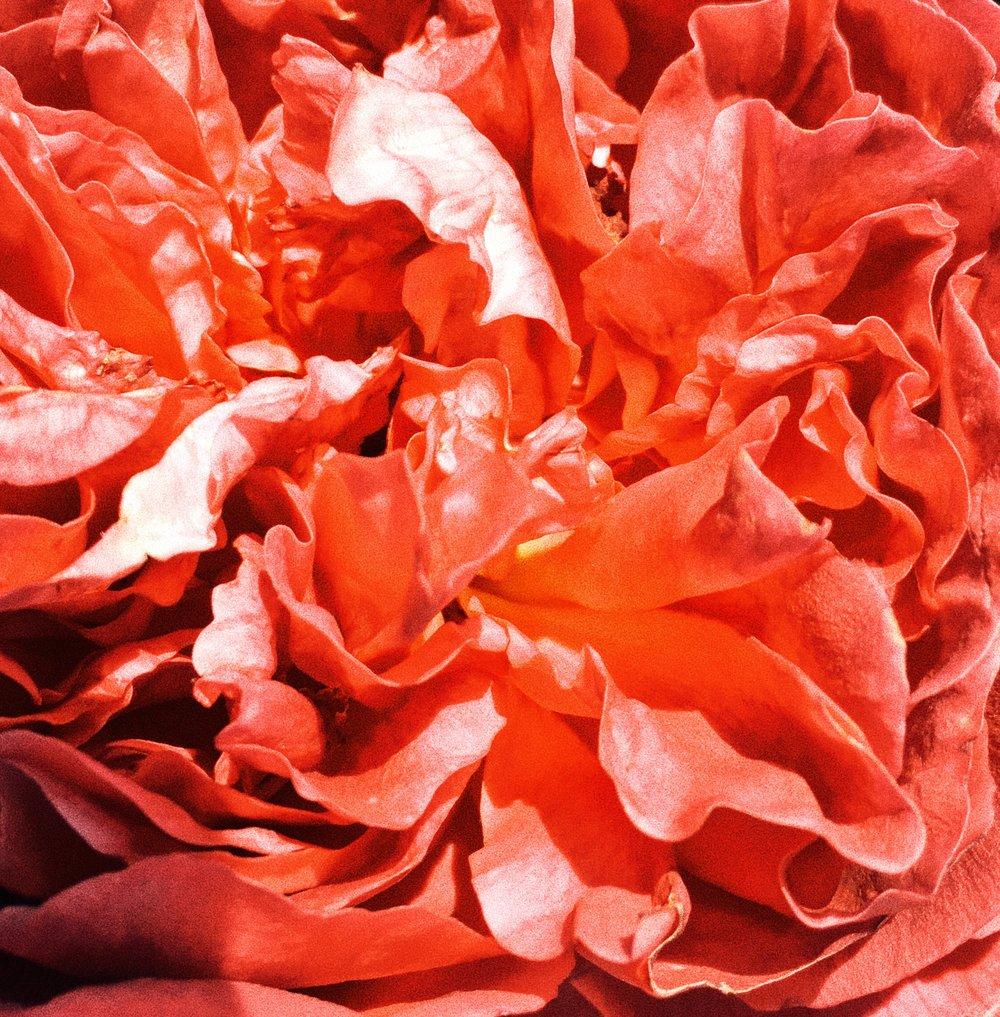 clustered petals.JPG