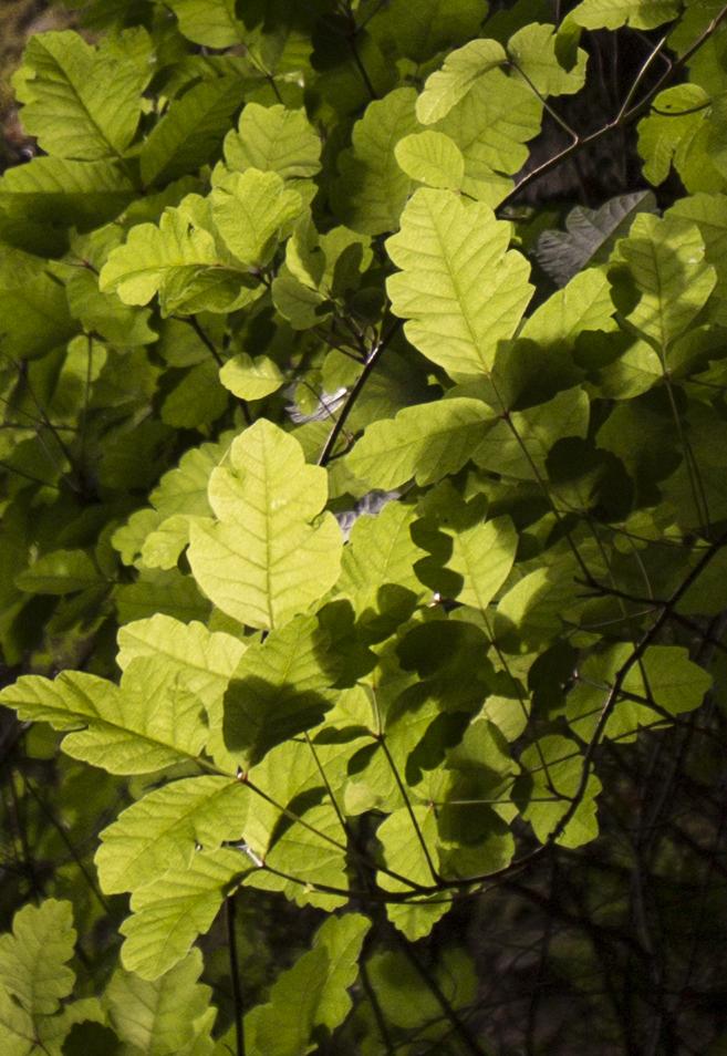 poison oak.jpg