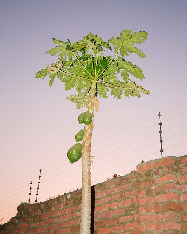 Papaya tree 🥭