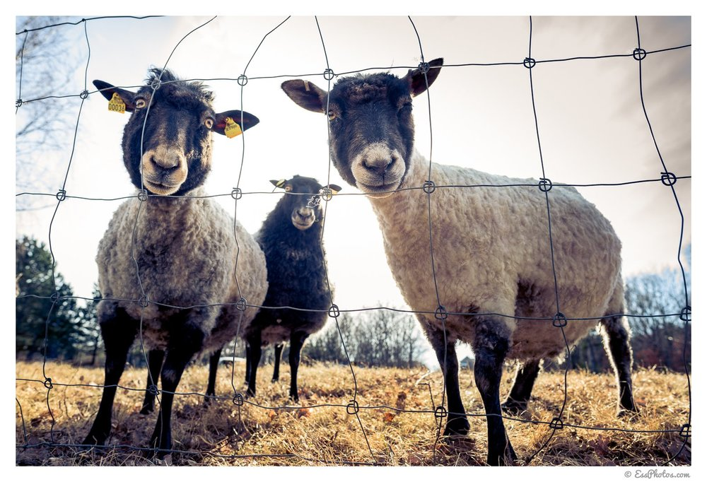 Thee sheep with an escape plan. 24mm on full-frame. 1/80, f/5.6, ISO 100