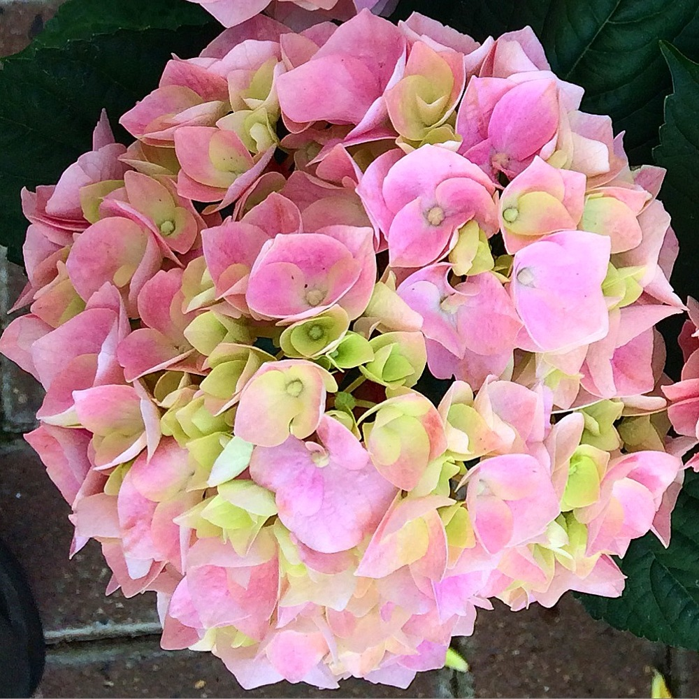 Hydrangeas come in a variety of colours from pink, green, white, purple and dusky red.