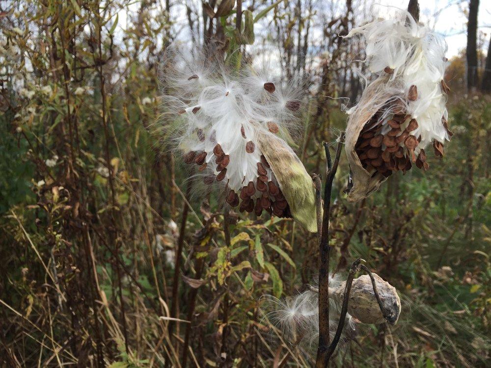Mighty milkweed going to seed