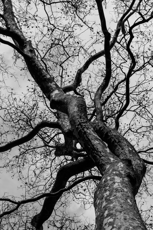 London plane tree.jpg