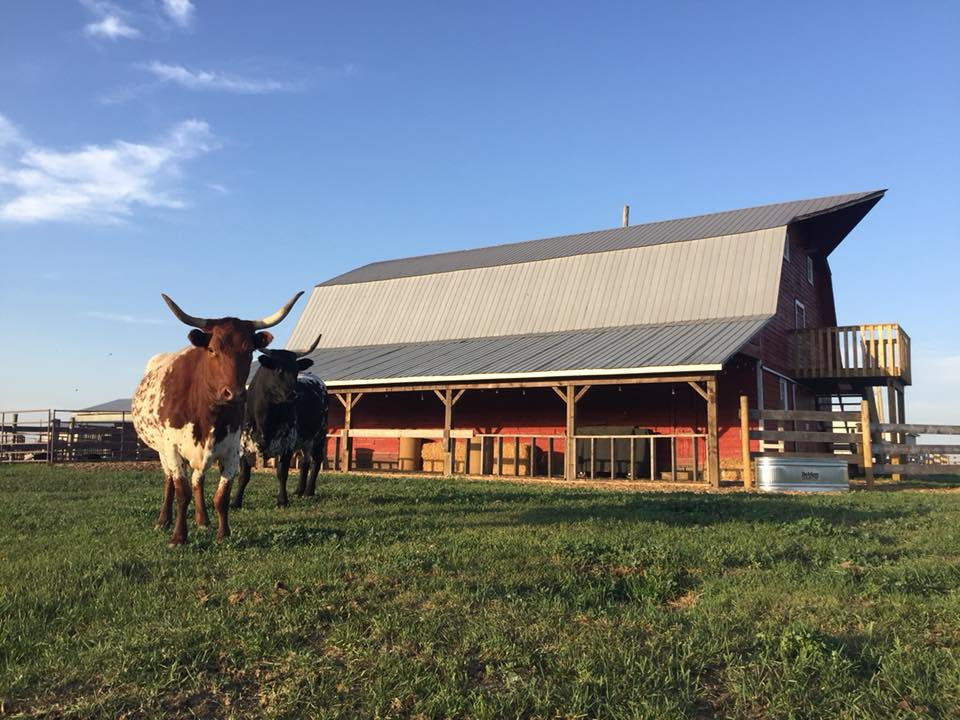 Red Barn Longhorns.jpg
