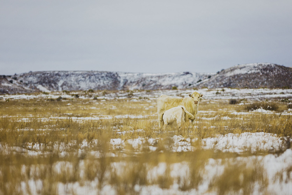 mls15-marfa-snow-cow-1.jpg