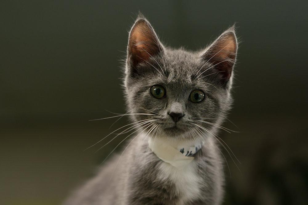 Fayette Animal Shelter Cats-2.jpg