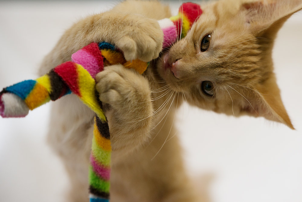 Fayette Animal Shelter Cats-10.jpg