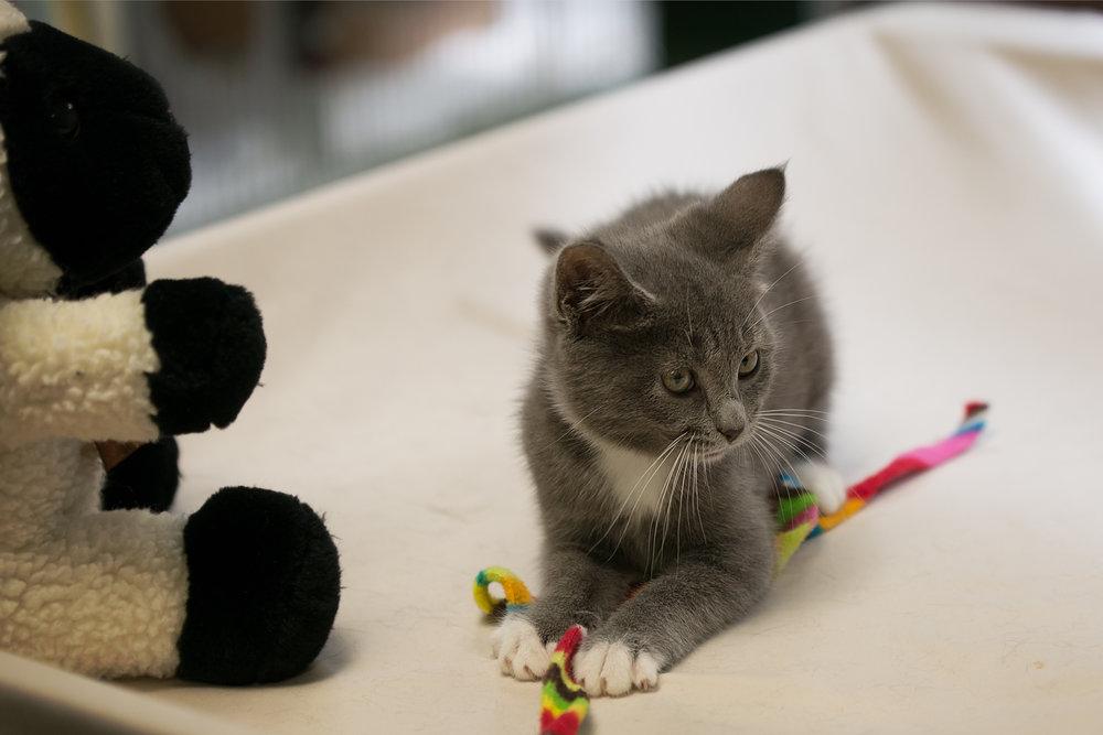 Fayette Animal Shelter Cats-14.jpg