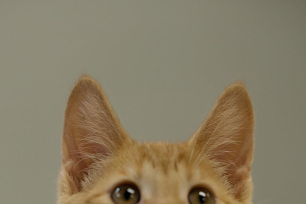 Fayette Animal Shelter Cats-11.jpg