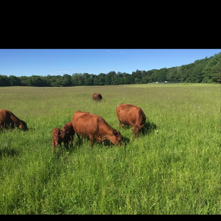 Red Devon beef cattle grazing in Farm Meadow field, Lincoln, MA