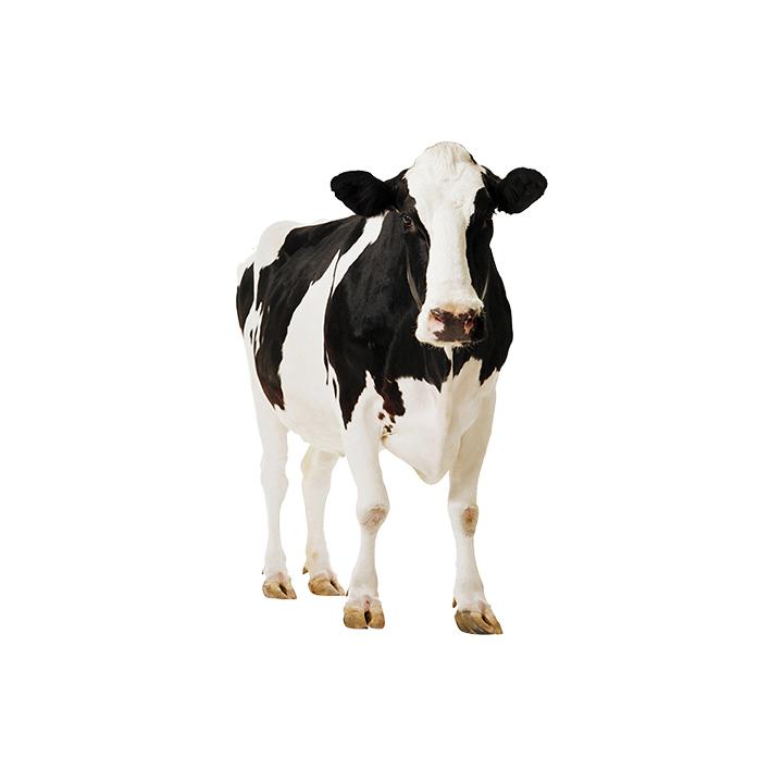 Milk cow.jpg