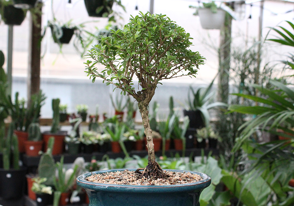 BONSAI TREE 2.jpg