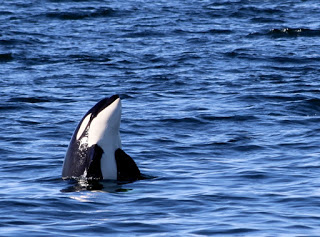"A curious Orca checks us out with a ""spy hopping"" behavior"