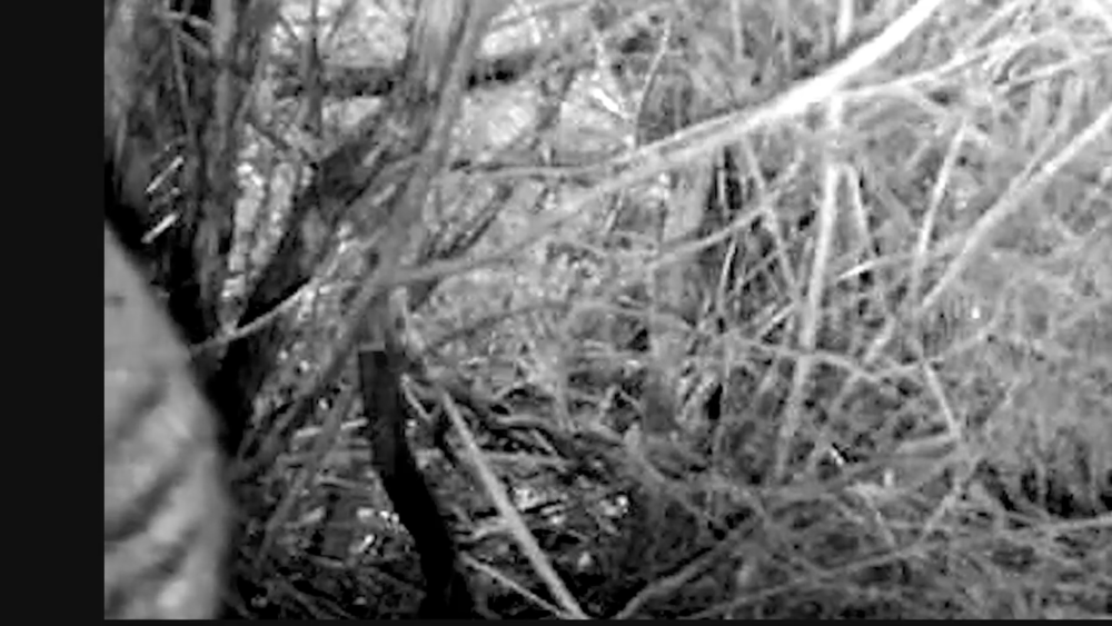 A still from The Thylacine Awareness Group of Australia's trail cam video.