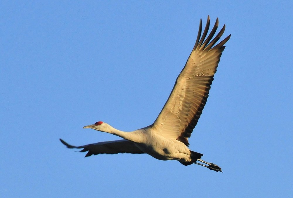 The majestic and terrifying sandhill crane.