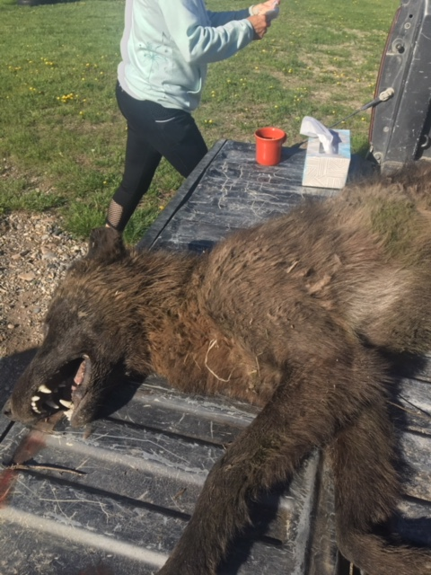 "The ""wolf-like"" animal shot near Denton, Montana.  (Image credit: Montana Fish, Wildlife, and Parks)"