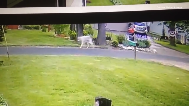 The mystery canid caught on camera.