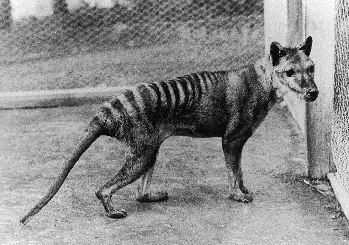 A young male thylacine at Beaumaris Zoo in Tasmania circa 1936.  (Image credit: Tasmanian Museum and Art Gallery)