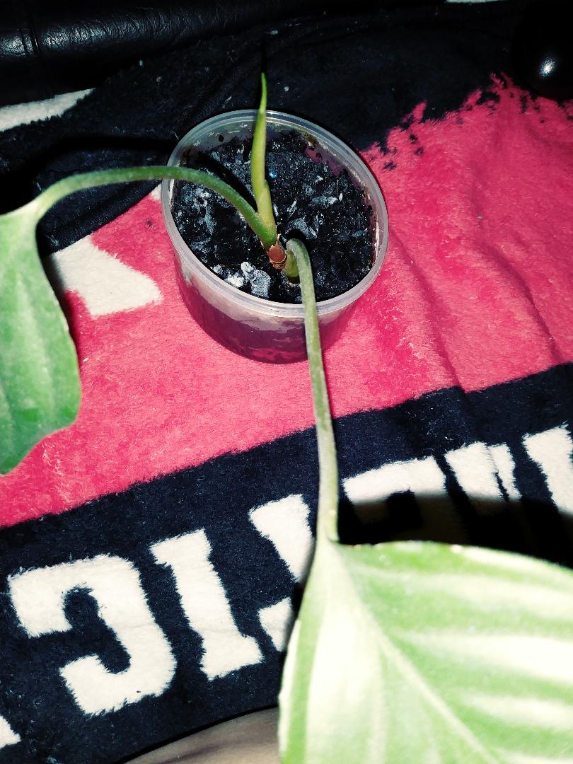 Papa plant C.jpg