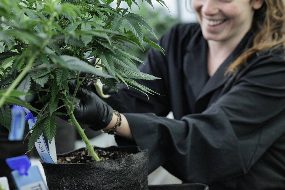 Cannabis-Yerba-Buena-amarett-10.JPG