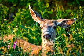 Cute doe in summer forest.jpg
