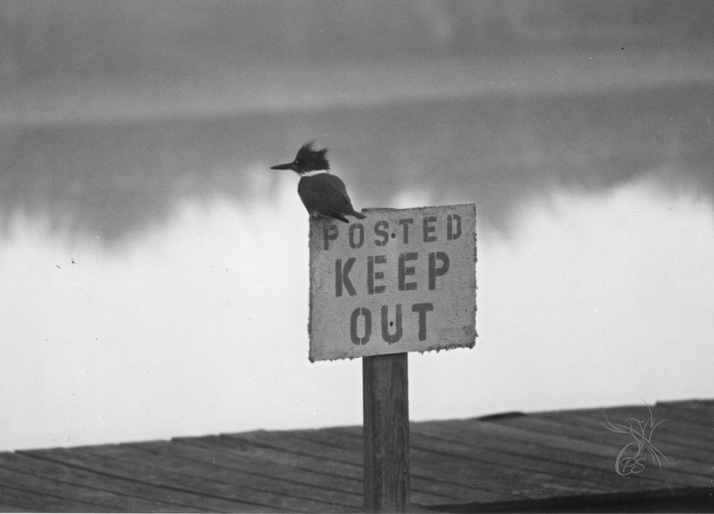 """Keep Out"" Kingfisher"