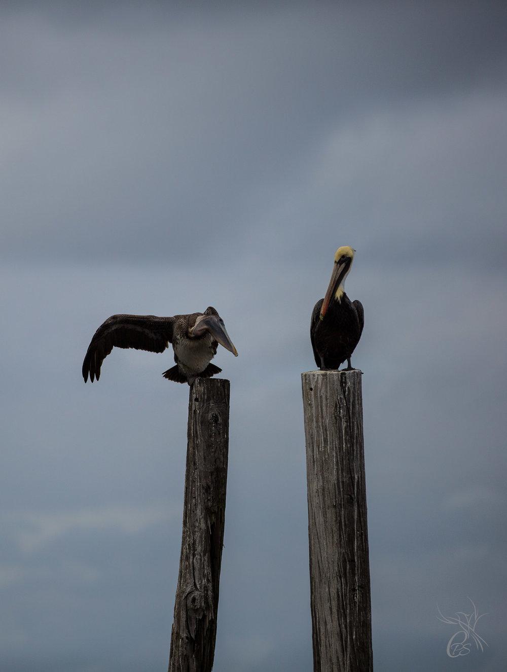 Pelican Scratching