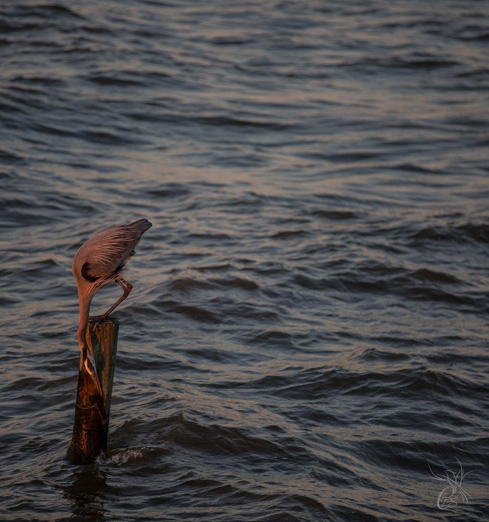 Great Blue Heron Exploring