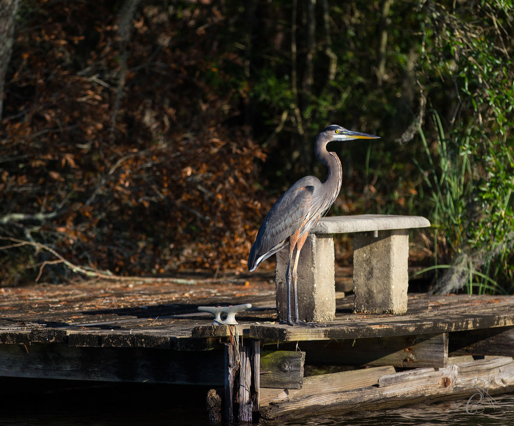 Great Blue Heron by Bench