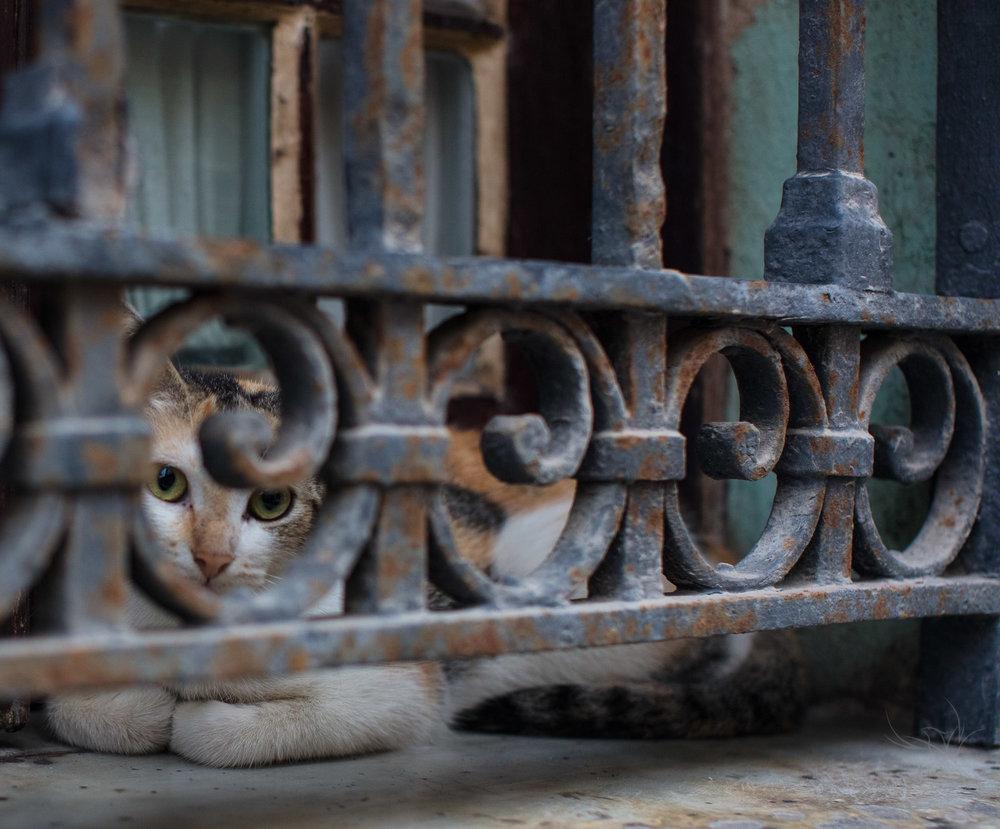 Cuba: Havana Cat