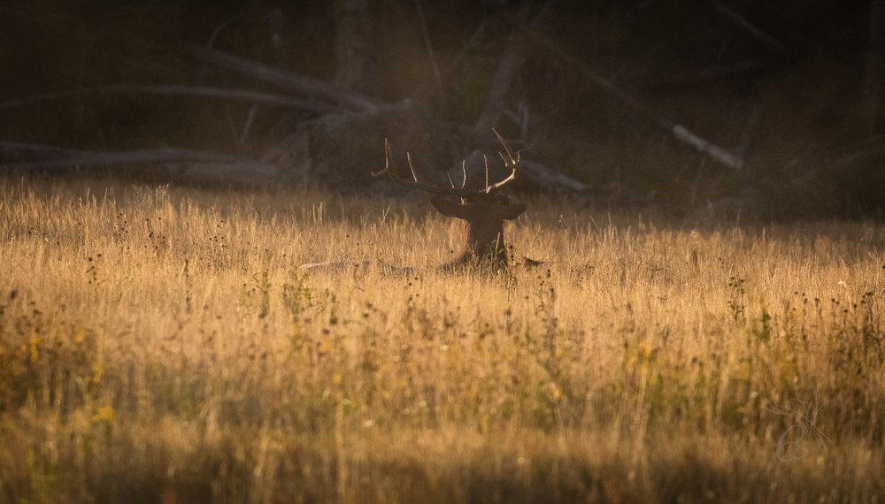 Quiet Elk in Yellowstone
