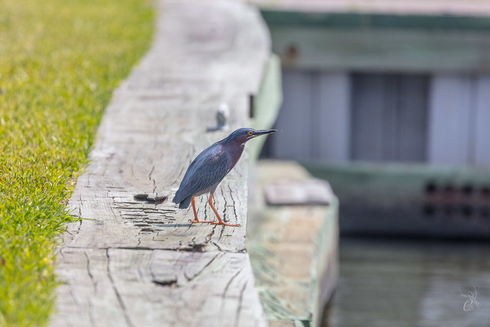 Beautiful (green?) heron on the LDWF pier in Grand Isle, LA
