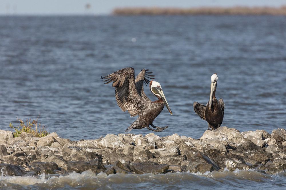 Pelicans coming in for a landing on Queen Bess Island Rookery - Grand Isle, LA