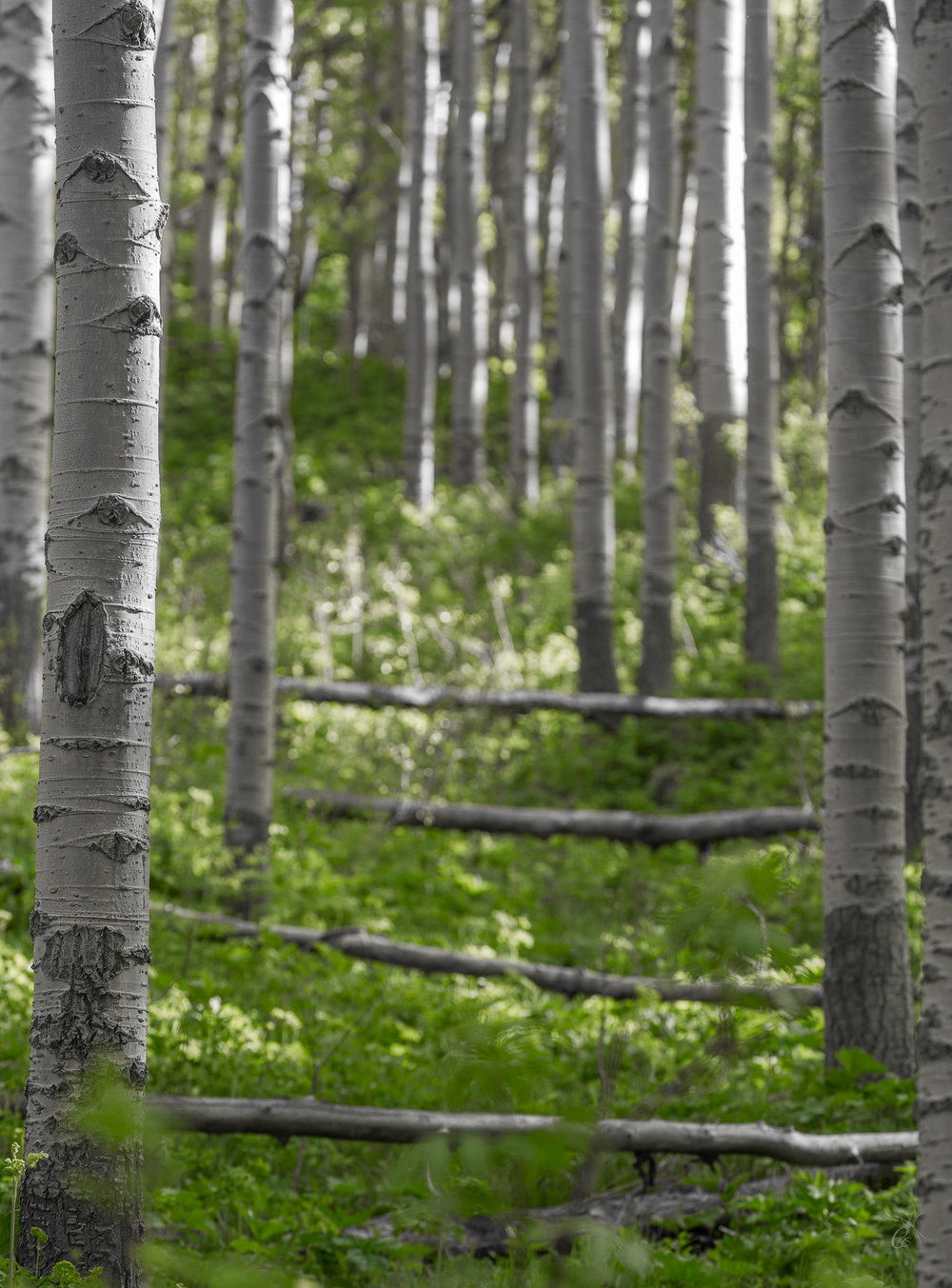 Aspen: Sunlit Trees