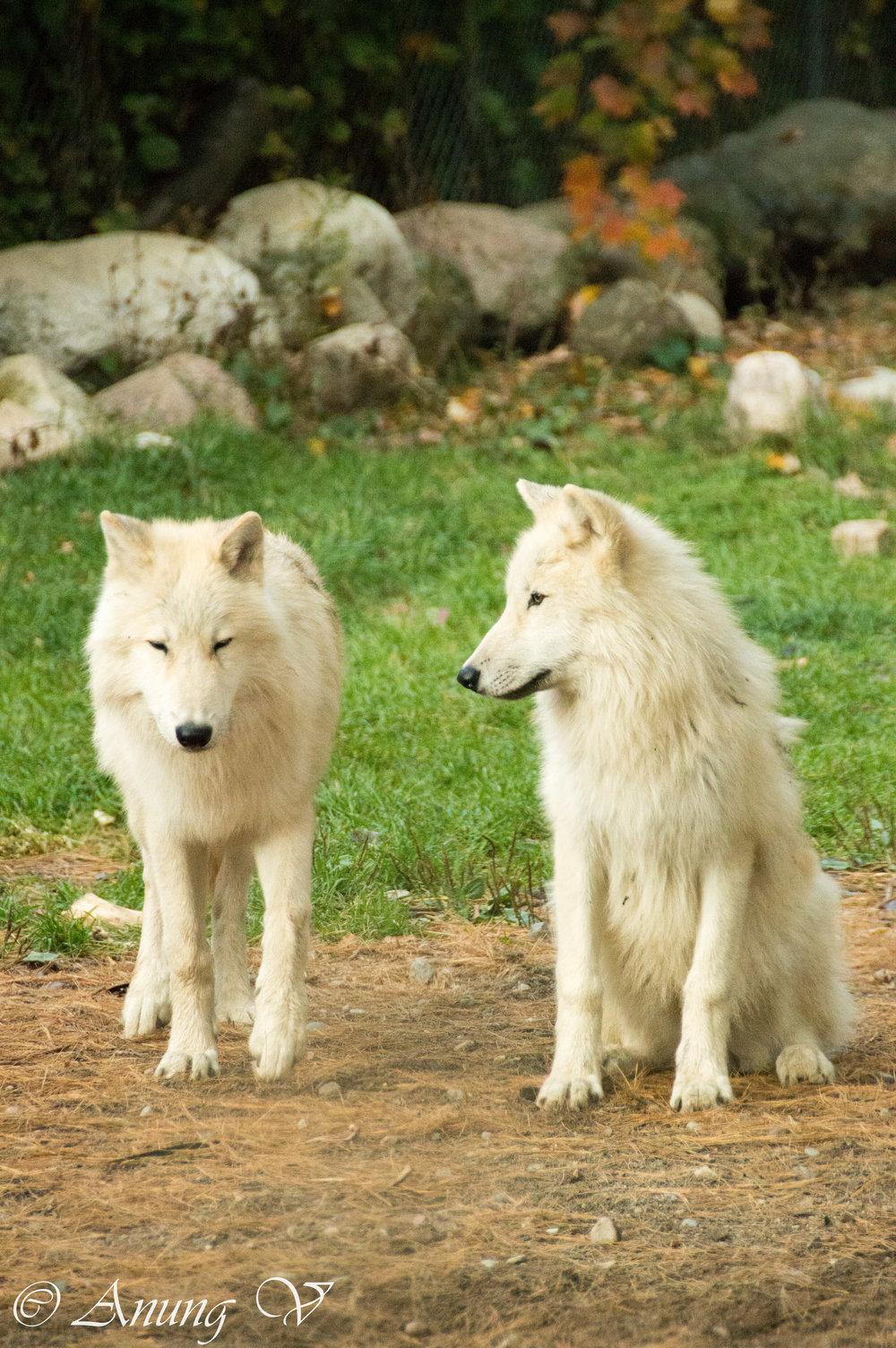 Wolf-54.jpg