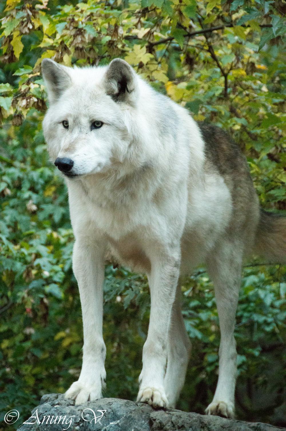 Wolf-499.jpg