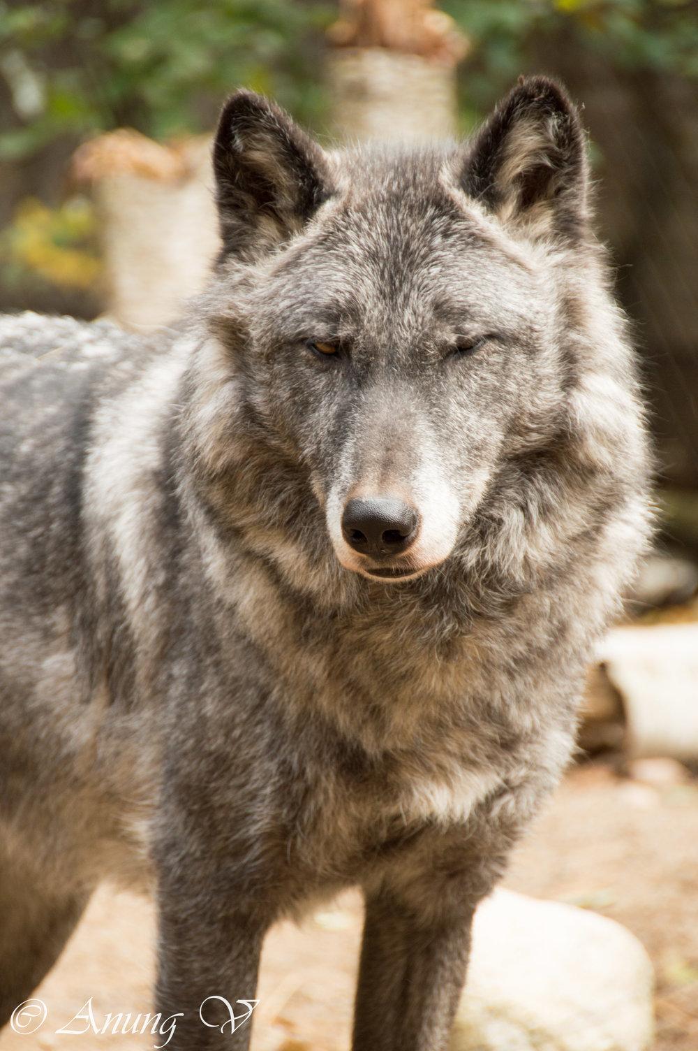 Wolf-673.jpg