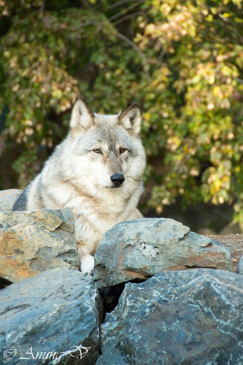 Wolf-844.jpg