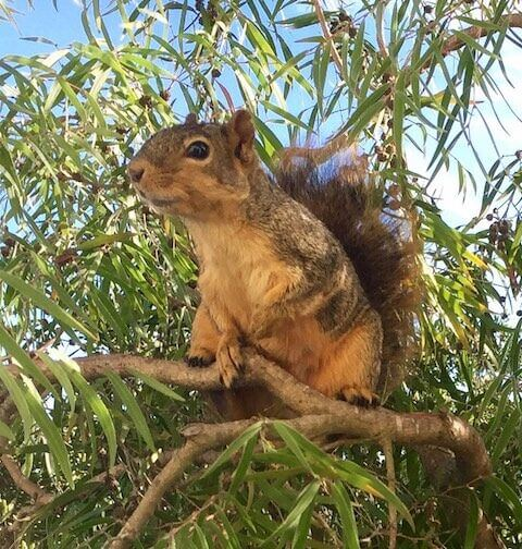 Eastern fox squirrel in a Claremont Canyon neighborhood. Visit Kay Loughman's   Wildlife in the North Hills   for more photos of wild life including mammals, birds, plants and more.