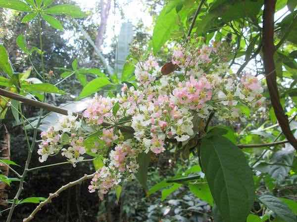Rare flowering of Ayahuasca in 2015