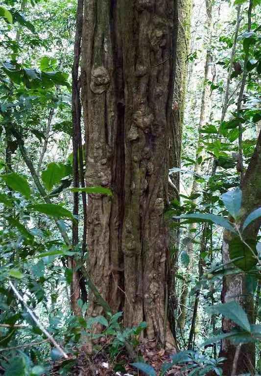 5oldtree_70K.jpg