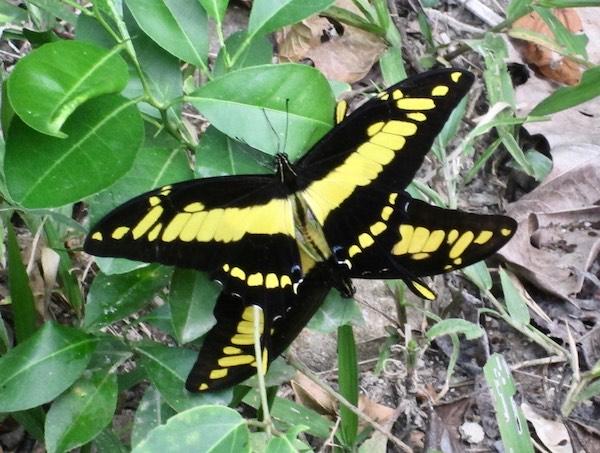 Yellow butterflies (2).jpg