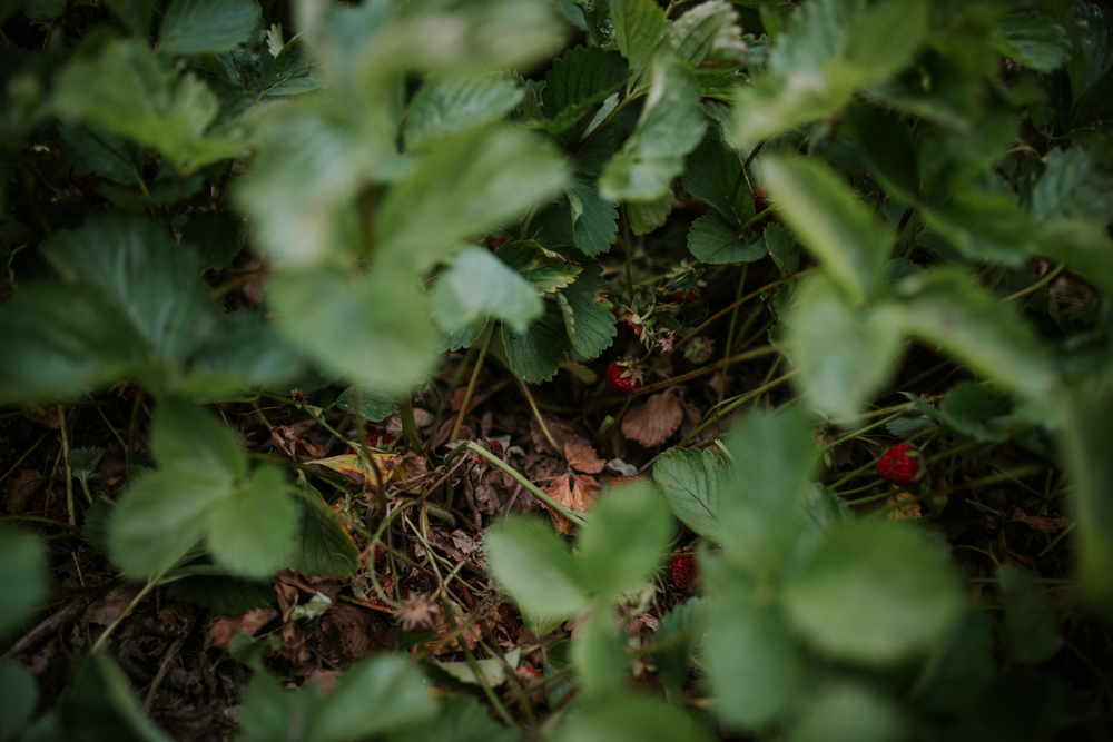 strawberry-7318.jpg