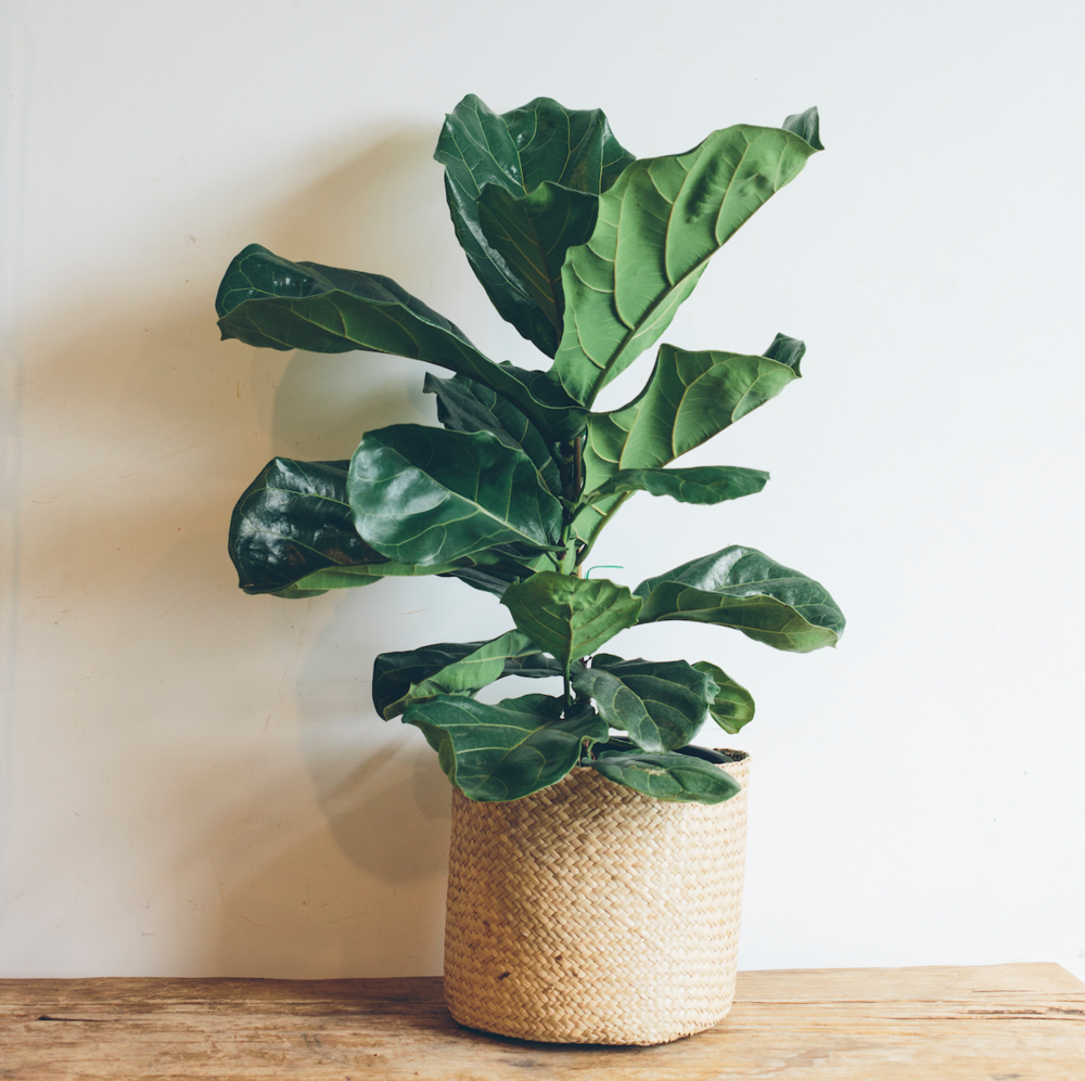 FIDDLE LEAF FIG INCLUDING BASKET