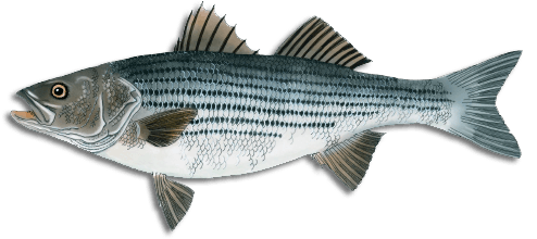 striped_bass.png