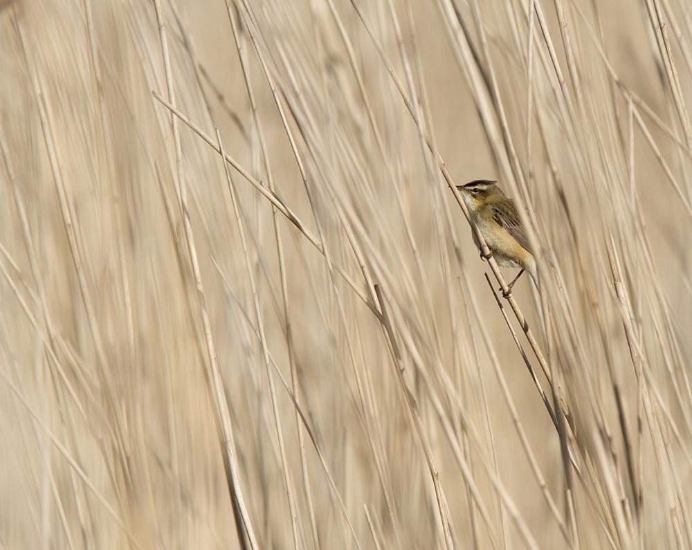 Reed warbler - Rietzanger